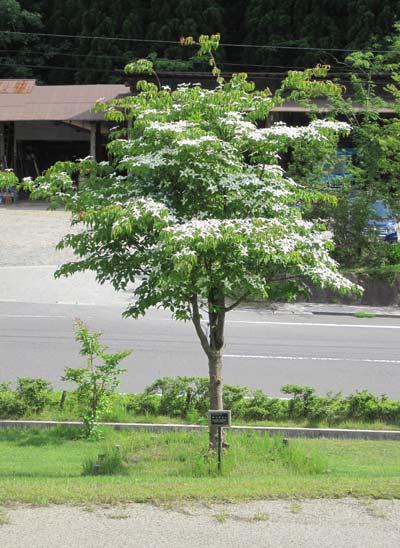 ヤマボウシの画像 p1_25