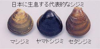 3種類のシジミ